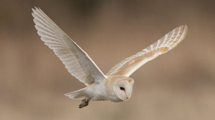 Protected Species Survey: Barn Owls