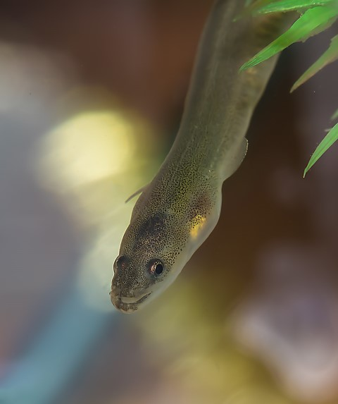 2019-03-25 The European Eel: Its decline