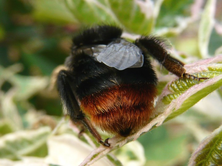 Red tailed bumble bee, Sheringham, Les Fisher