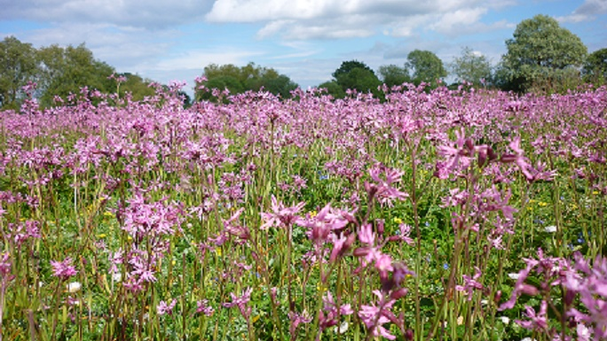 Ragged robin at Earsham by Andrew Atterwill