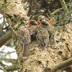Juvenile treecreepers by Michael Hoare