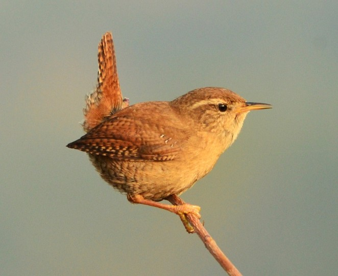 Where Can I Buy A Tiny House >> Wren - Norfolk Wildlife Trust
