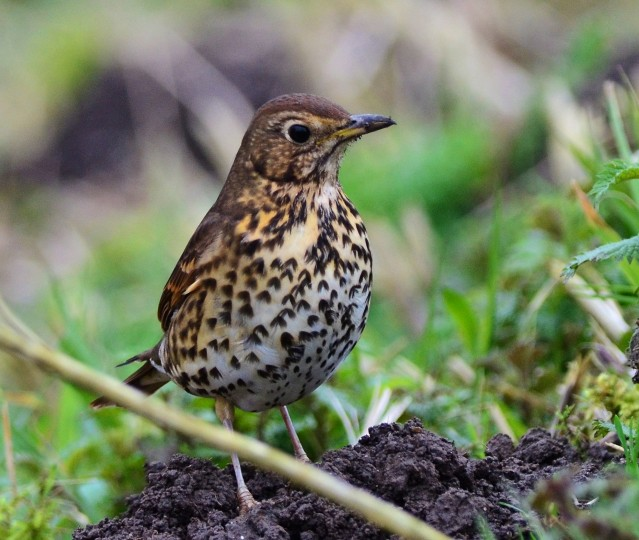 Song Thrush, Rocklands, Elizabeth Dack