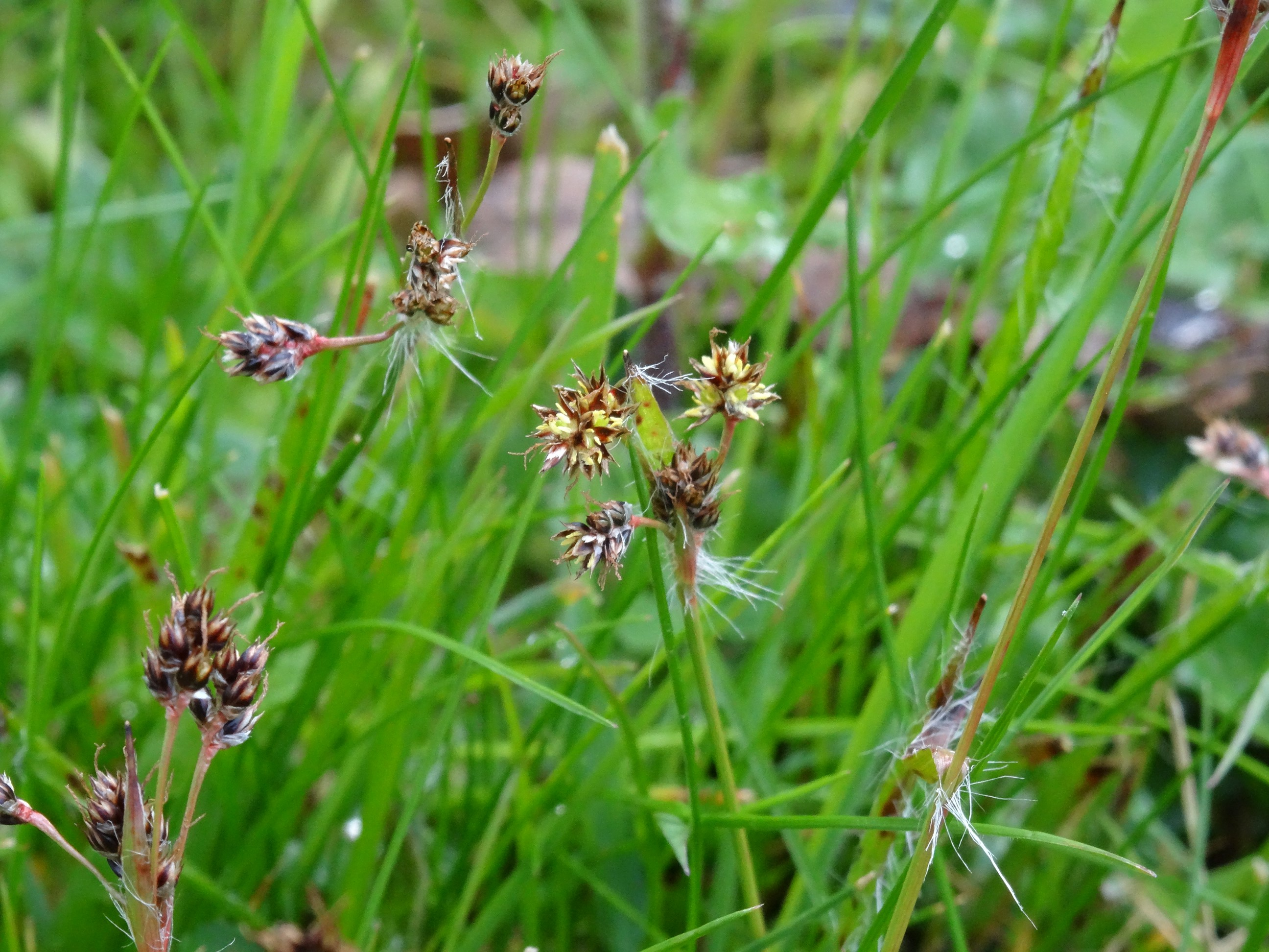 Field wood-rush at Barnham Broom