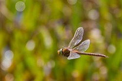 Where will I find a Norfolk hawker?