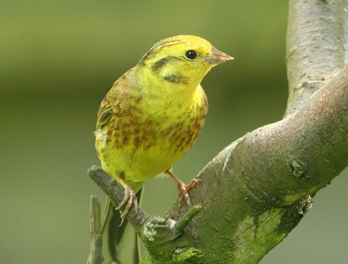Yellowhammer, Norfolk, Brian MacFarlane