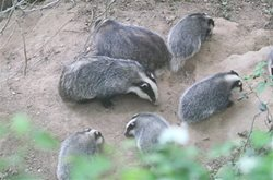 Are badgers affecting hedgehog numbers?