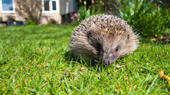 Spring gardening: Helping hedgehogs