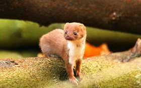 weasel norfolk wildlife trust