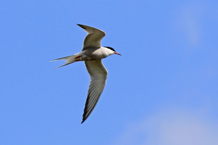 Common Tern by Paul Taylor