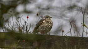 Mistle Thrush - Norfolk Wildlife Trust
