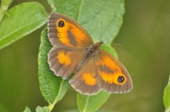 2019-07-24 Hickling Butterfly Walk