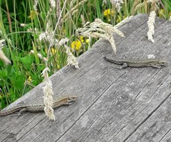 What reptiles can I see in Norfolk?