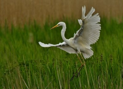 Great egret, by Elizabeth Dack