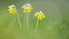 Wildlife in Common - cowslip