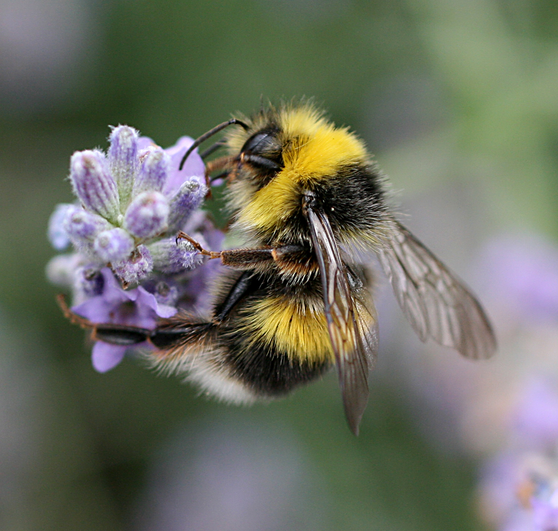 9 for 90: White-tailed Bumblebee