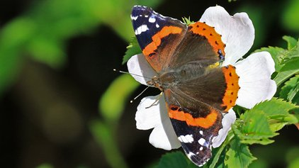 Red admiral butterfly by Paul Taylor