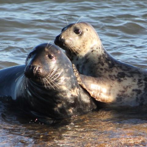 Grey Seal Norfolk Wildlife Trust