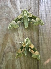Lime hawkmoth, Sprowston, by Barry Madden
