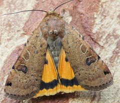 Lunar Yellow Underwing