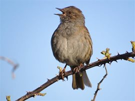 Dunnock by Shay Porter