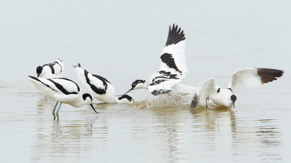 Avocets by Steve Bond