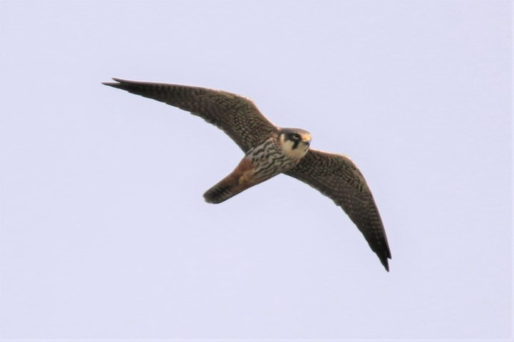 Hobby at Strumpshaw Fen by Nick Goodrum