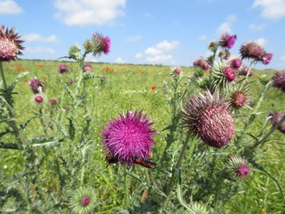 Musk thistle, by David North