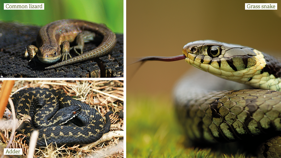 Spring reptile survey to help protect species in Norfolk